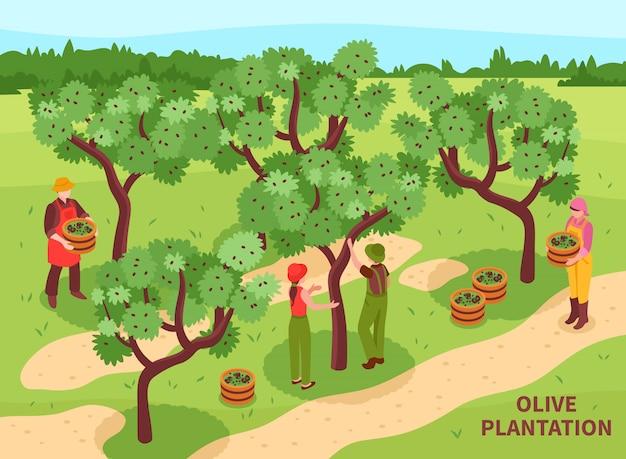 Oliven, die isometrisches plakat ernten