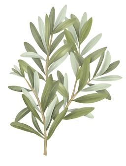 Olivenbaumzweig handgezeichnete isolierte illustration auf weißem hintergrund