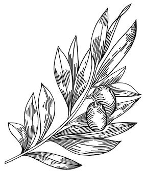 Olivenzweige isoliert auf weiß