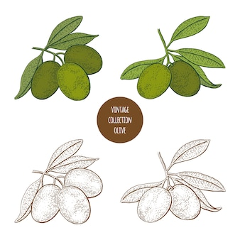 Olivenzweige mit oliven