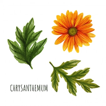 Orange chrysanthemenblume mit blättern, teepflanze