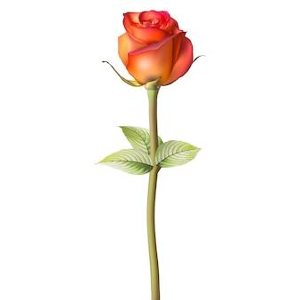 Orangerote rose.
