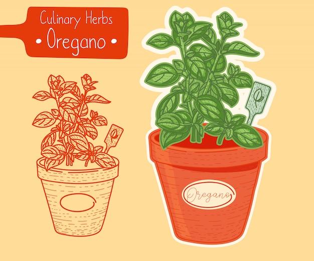 Oregano wächst in einem topf