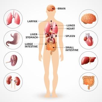 Organe der menschlichen anatomie
