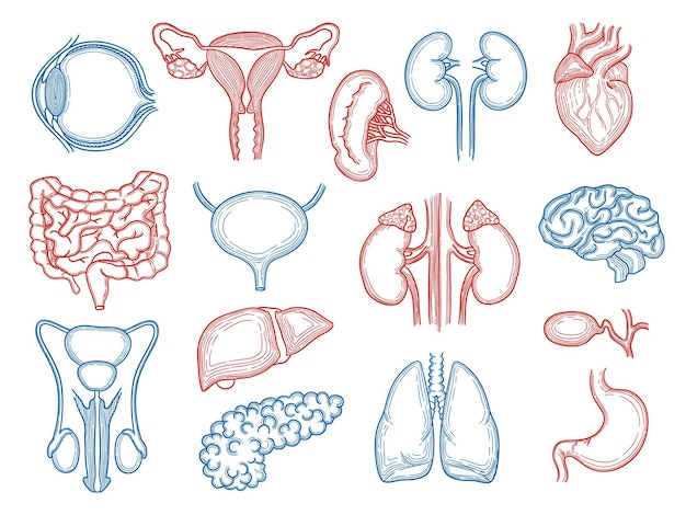 Organskizze. medizinische anatomie des menschlichen körperteils stellte leberherzen-nierenhirnmagen ein.