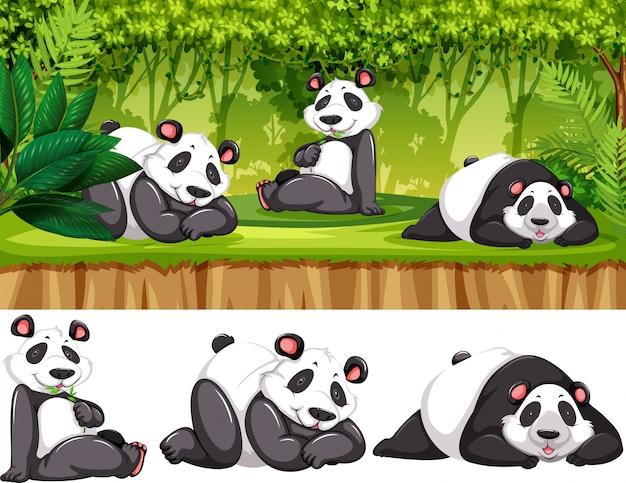 Panda in freier wildbahn