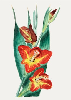 Papagei gladiole