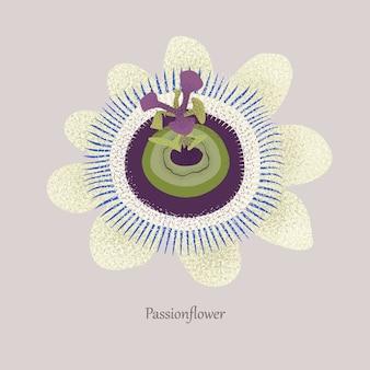Passionsblume ist eine grasige liane mit einer schönen blüte.