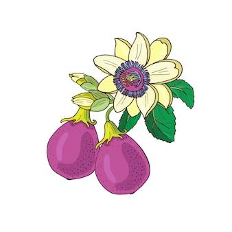 Passionsblume passiflora, passionspurpur, violette frucht auf einem weißen hintergrund. exotische blume, knospe und blatt. sommerillustration für drucktextil, stoff, geschenkpapier.