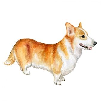 Pembroke-waliser-corgi-hund. aquarell
