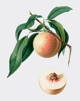 Pfirsich von pomona italiana abbildung