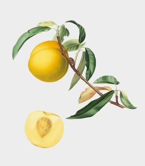 Pfirsich von pomona italiana-abbildung
