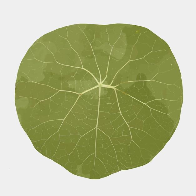 Pflanzenblattelementvektor stephania suberosa
