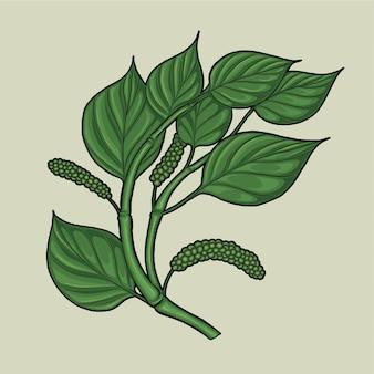 Pflanzenillustration des schwarzen pfeffers