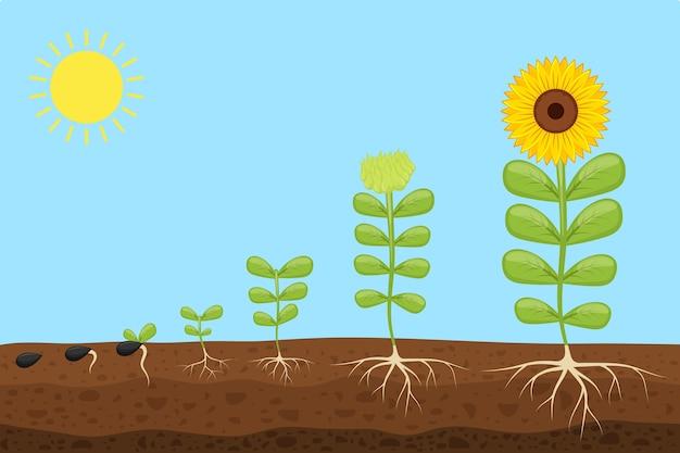 Pflanzenwachstumsstadien