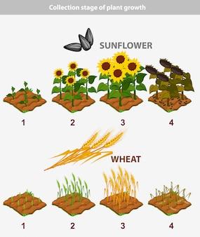 Pflanzenwachstumsstadium. sonnenblume und weizen
