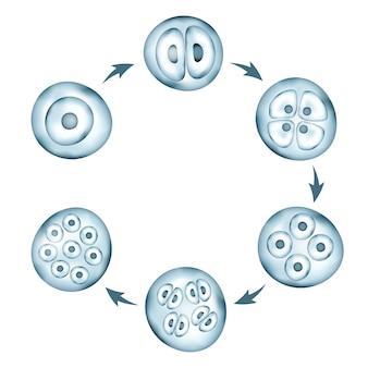 Phasen der menschlichen embryonalentwicklung zirkuläres schema