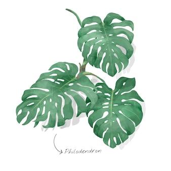 Philodendronblatt getrennt auf weißem hintergrund
