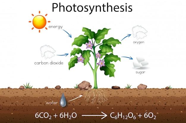 Photosynthese erklärung wissenschaft diagramm