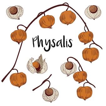 Physalis gesetzt