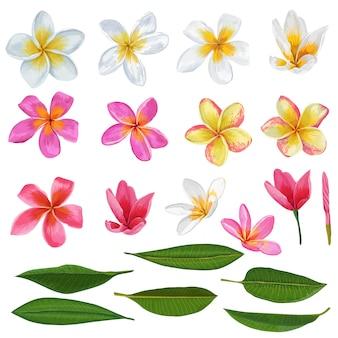 Plumeria-blumen und blätter eingestellt. exotische tropische florenelemente lokalisiert