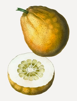 Pomelo-frucht