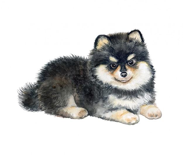 Pomeranian-welpen-stammbaumhund. aquarell.