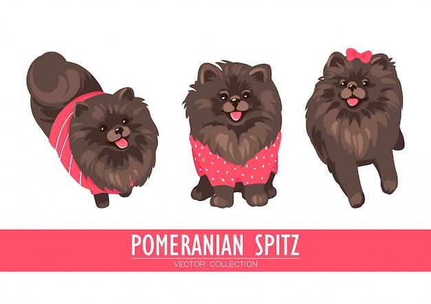 Pommersche spitzcreme, orange und dunkel lokalisiert auf weißem hintergrund. nette pom welpen tragen kleidung - pullover, bogen. kleine hunde.
