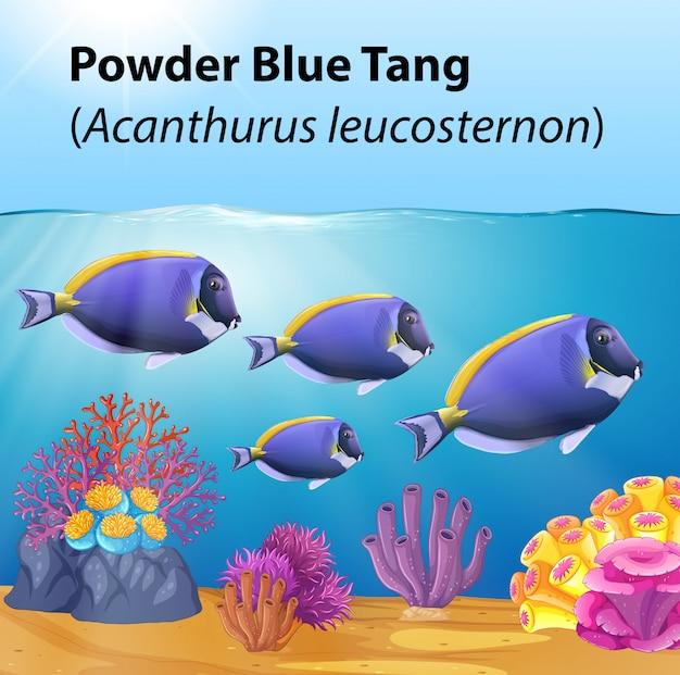 Powder blue tang fische im ozean