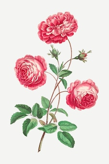Provence rose vector vintage floral art print, remixed from artworks by john edwards