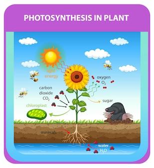Prozess der photosynthese in pflanzen