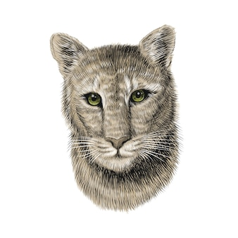Puma kopf, skizze illustration hand gezeichnet.