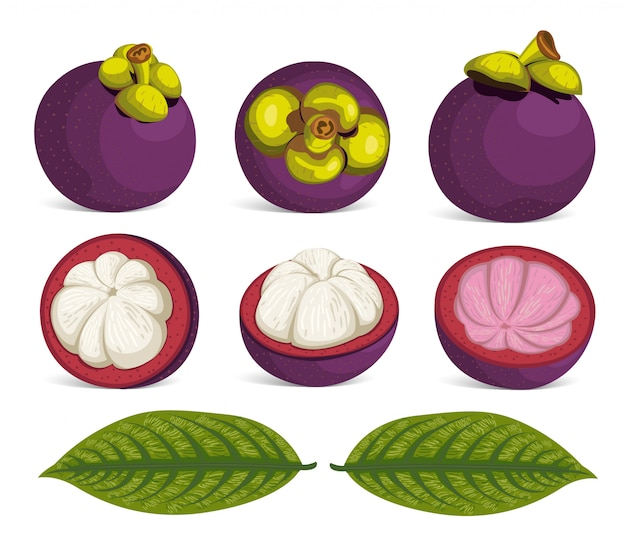 Purpurrote mangostanfrucht-frucht lokalisierter vektor