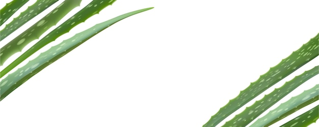 Realistische aloe vera-vektorillustration auf weißem hintergrund