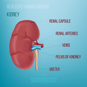 Realistische darstellung einer menschlichen niere