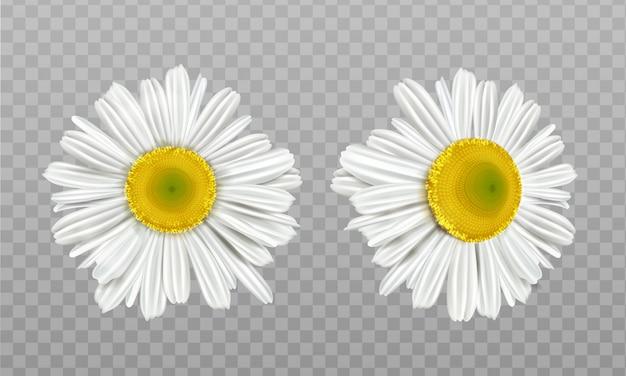 Realistische frühlingskamille, gänseblümchenblumen