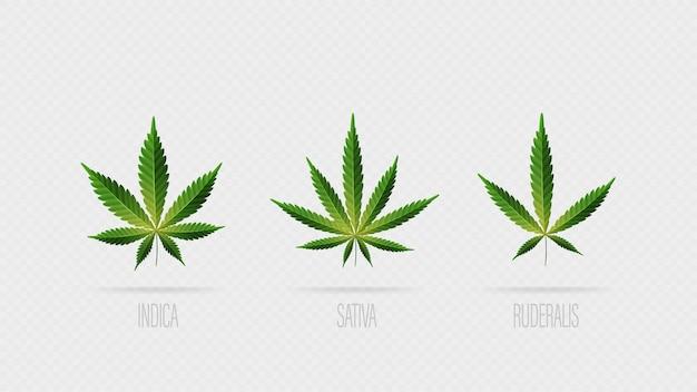 Realistische grüne blätter von cannabis. satz cannabisblätter, sativa, indica und ruderalis lokalisiert auf einem weißen hintergrund