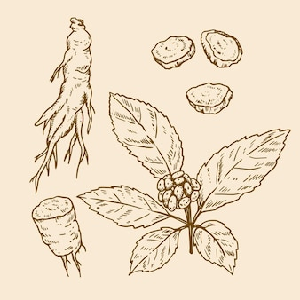 Realistische handgezeichnete ginseng-pflanzenpackung