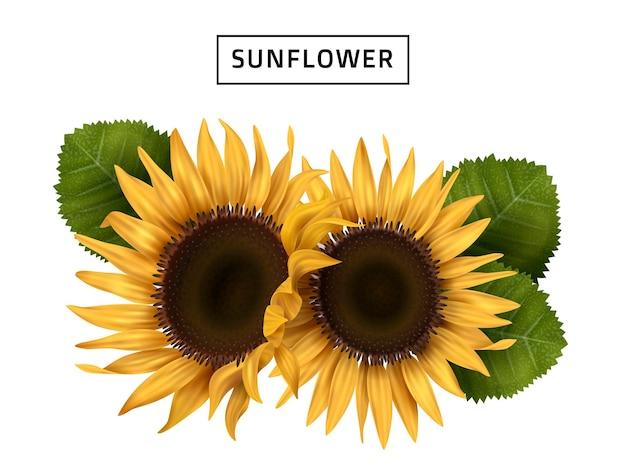 Realistische illustration der sonnenblume mit grünen blättern, lokalisierter weißer hintergrund
