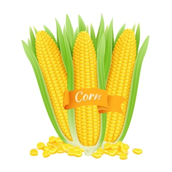 Realistische maiskolben. maiskörner und kolben mit blättern auf weißem hintergrund