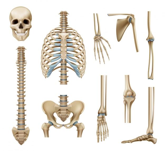 Realistische menschliche skelettteile eingestellt