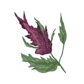 Realistische natürliche zeichnung der quinoa- oder amaranthpflanze mit blühender pflanze oder blütenstand.
