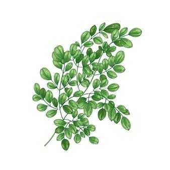 Realistische natürliche zeichnung des wunderbaums (moringa oleifera)