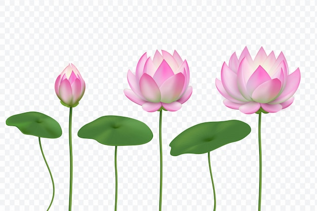 Realistische rosa lotusblumen