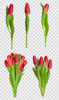 Realistische rote tulpen-blumenset isoliert