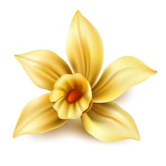 Realistische vanilleblütenblüte oder gelbe narzisse
