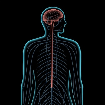 Realistische vektorillustration des zentralen nervensystems 3d. nerven senden im männlichen körper elektrische signale zum und vom gehirn und rückenmark. cns- und pns-konzept. medizinisches röntgenplakat für neurologieklinik.
