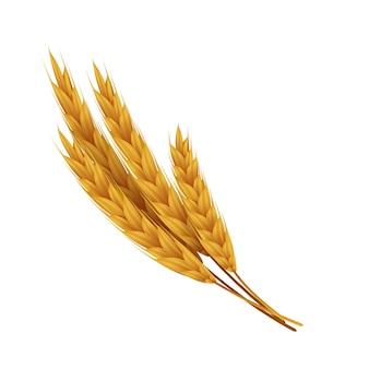 Realistische weizenähren mit körnern. gelber roggen für bäckerei. vektorillustrationen landwirtschaftliches gesundes essen und erntesamen für vegetarisches gesundes essen