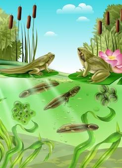 Realistisches plakat der froschlebenszyklus-wasserstadien mit massekaulquappe der erwachsenen amphibie ärgert mit den beinen