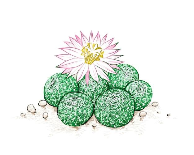 Rebutia kaktus mit rosa blume eine sukkulente mit scharfen dornen für die gartendekoration